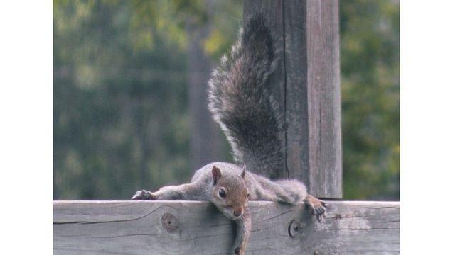 Squirrel Watch, Balance Beam 07-30-12