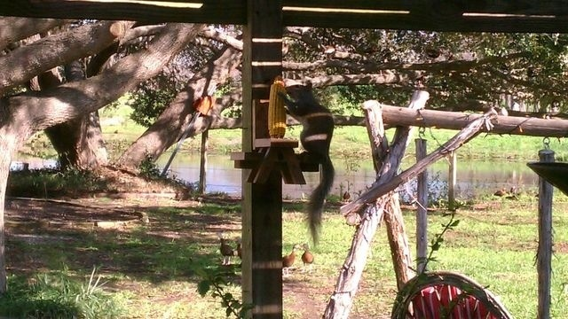 Squirrel Watch, Eating Corn 09-06-12