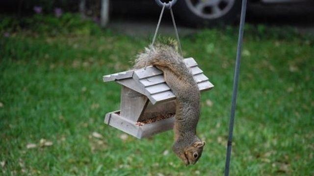Squirrel Watch, Gymnastics Squirrel 07-30-12