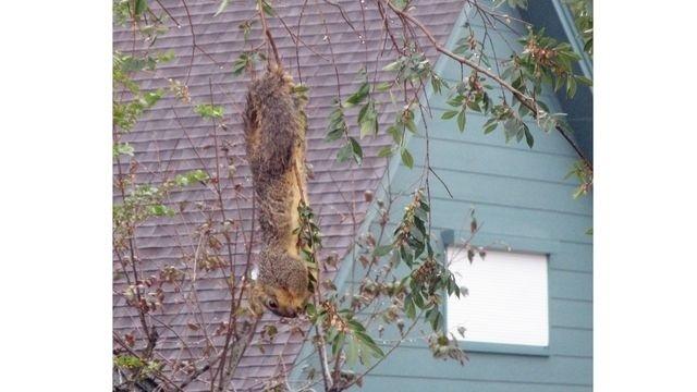 Squirrel Watch, Hanging Upside Down