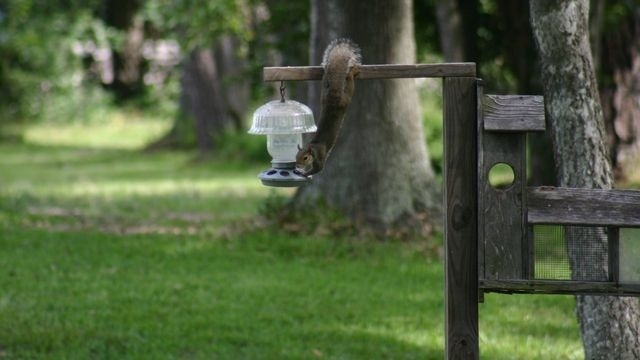 Squirrel Watch, Hanging on Birdfeeder 09-06-12