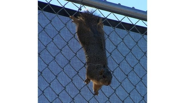 Squirrel Watch, Hanging on Fence 09-28-12