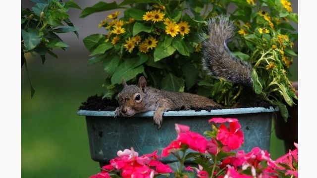 Squirrel Watch, In Flower Pot 07-02-12