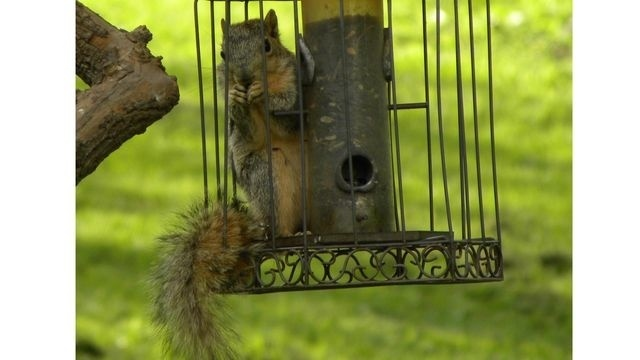 Squirrel Watch, In Squirrel-Proof Birdfeeder 09-06-12