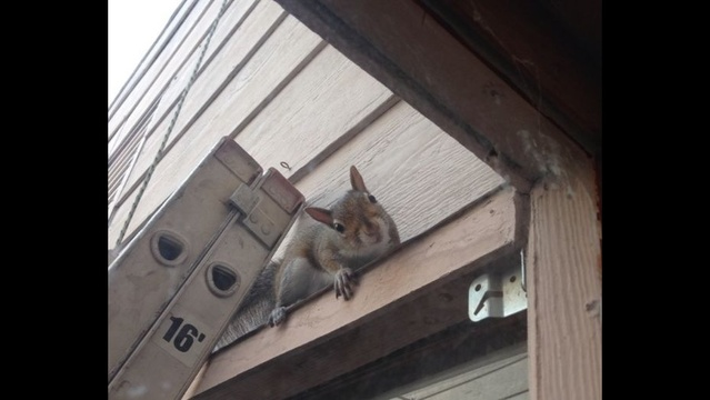 Squirrel on a ladder