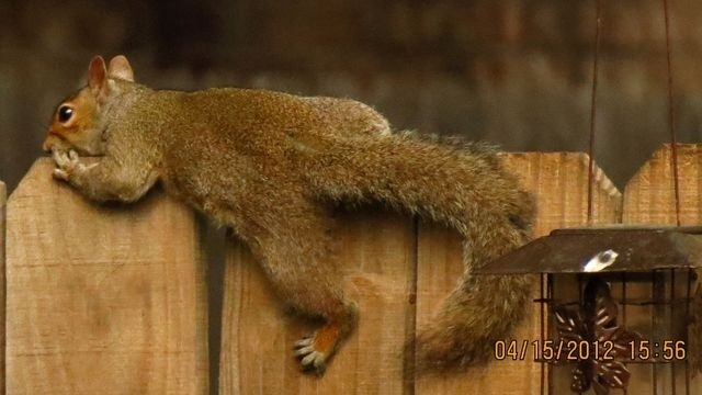 Squirrel Watch, Laying on Fence 09-28-12