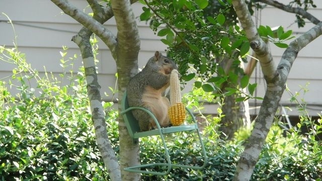Squirrel Watch, On Chair Eating Corn 09-28-12