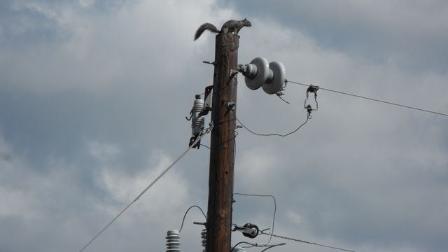 Squirrel Watch, On Utility Pole 07-02-12
