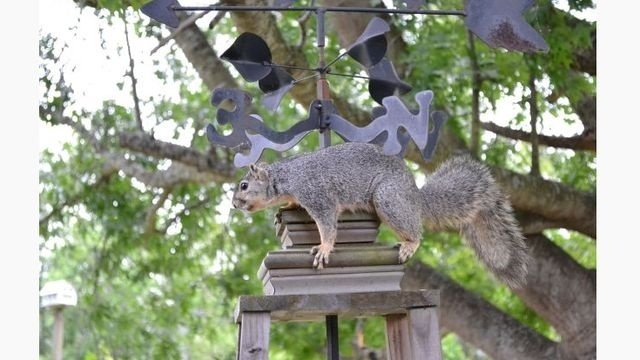 Squirrel Watch, On Weathervane 05-31-12