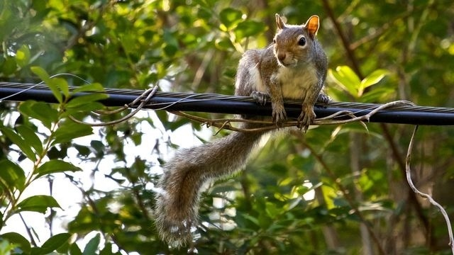 Squirrel Watch, On Wire 09-28-12