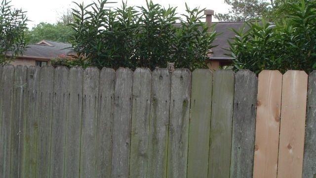 Squirrel Watch, Peeking Over Fence