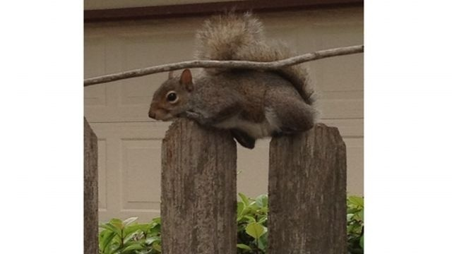 Squirrel Watch, on fence 11-29-12