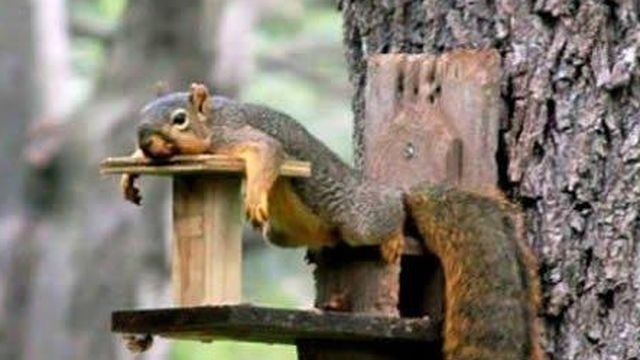 Squirrel watch, tired squirrel 01-31-13