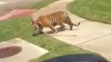 911 call of wandering Conroe tiger