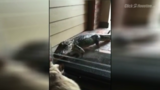 Richmond woman finds alligator on front porch