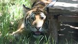 Tiger found wandering in Conroe