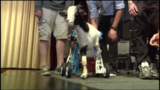 Students create unique wheelchair for two-legged goat