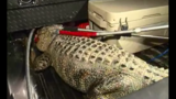 Alligator caught outside middle school