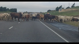 Deputies move more than 100 cattle off road in Waller County
