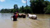 Houston SPCA assists with horse rescue in flooding