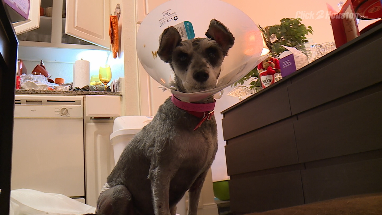 Woman Dog Attacked Hospitalized By 2 Pit Bulls