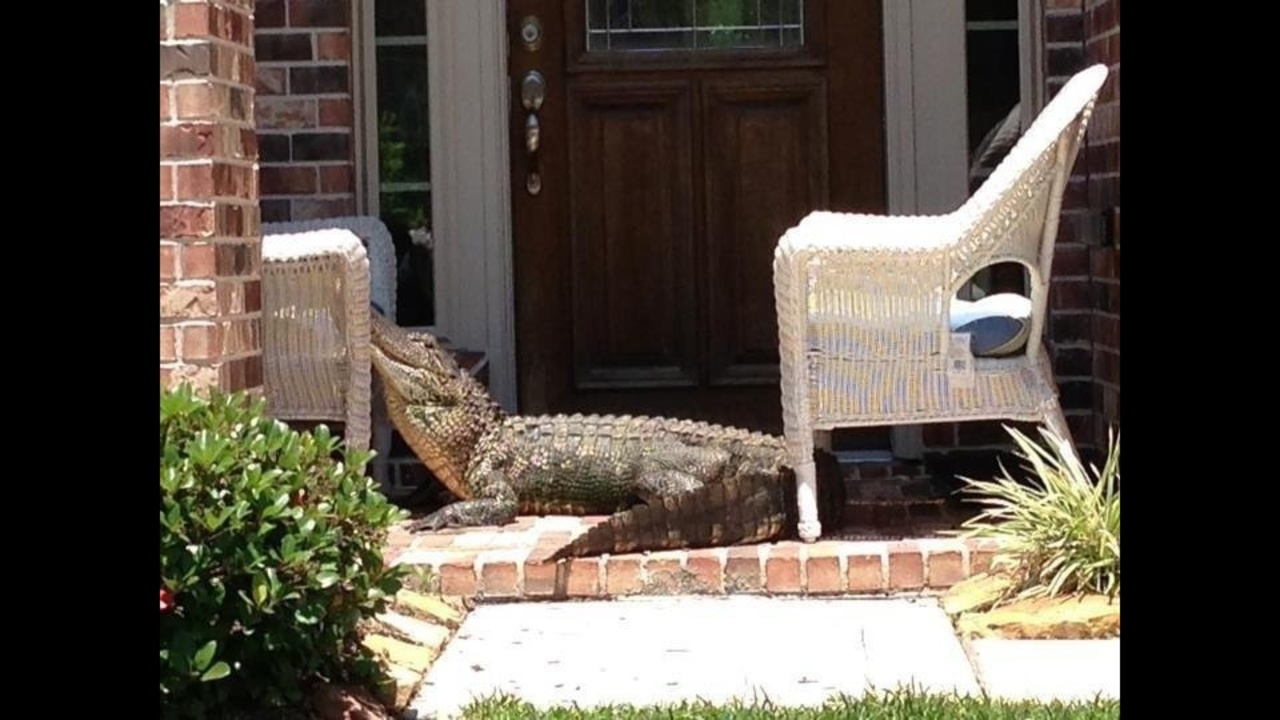 8-foot alligator spotted in Sienna Plantation