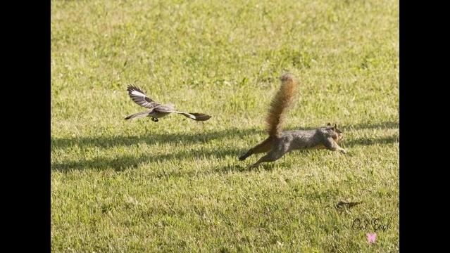 Bird Chasing Squirrel