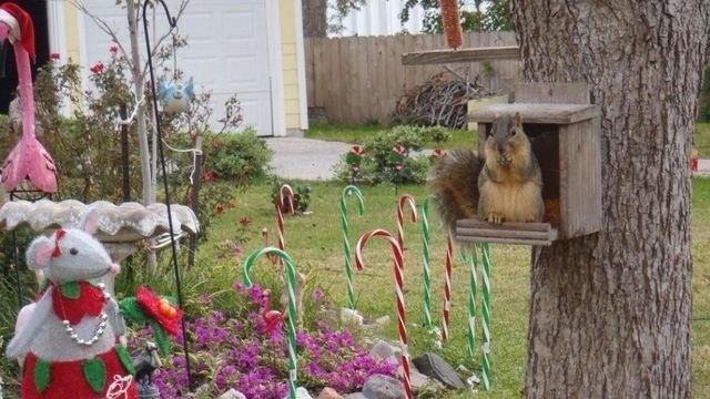 Squirrel Watch, Christmas Decor 11-29-12