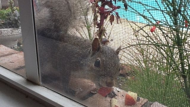 Squirrel Watch, Eating Apple 12-27-12