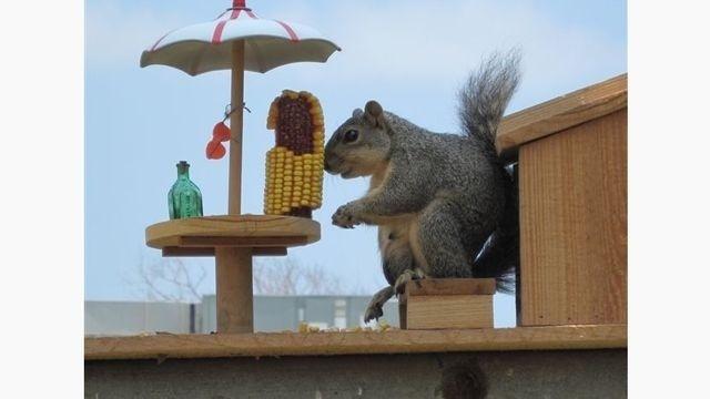 Squirrel Watch, Eating Corn 05-31-12