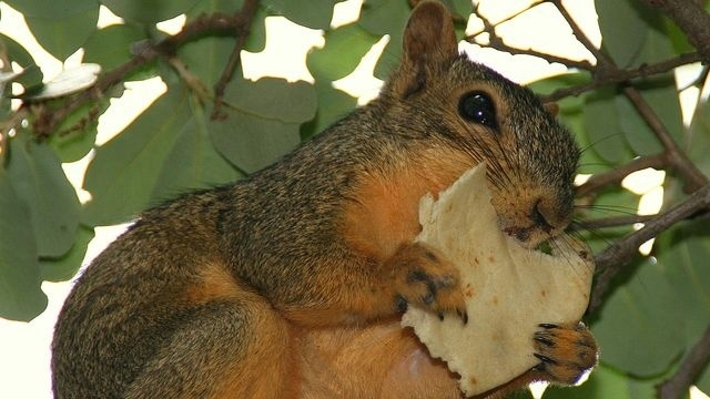 Squirrel Watch, Eating Tortilla 12-27-12