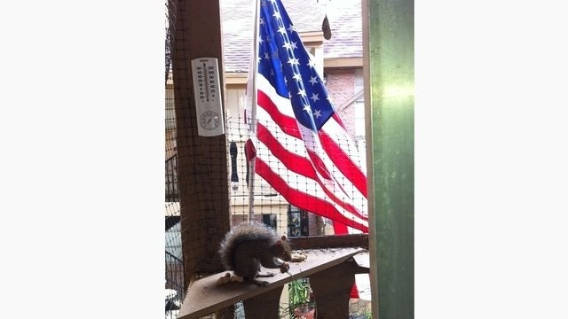 Patriotic Squirrel  _15335964