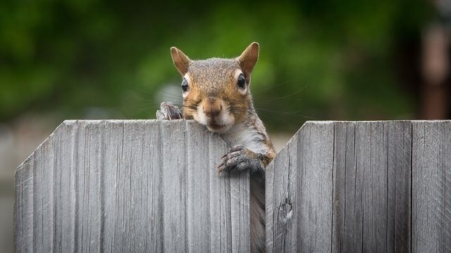 Peeking Over Fence
