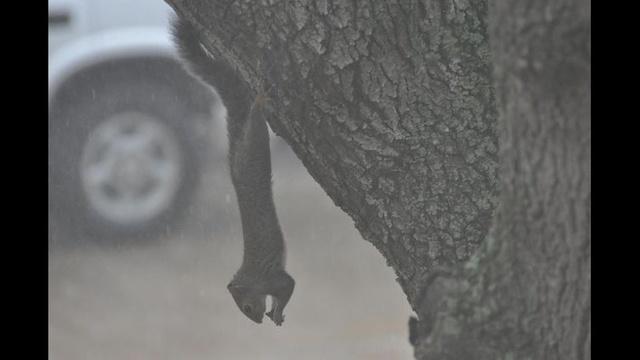Squirrel Watch Rain