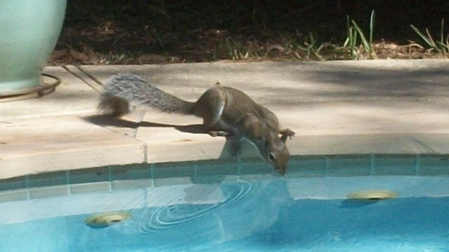 Squirrel Watch, Swimming Squirrel 07-30-12