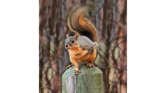 Squirrel Watch, Swirly Tail 03-01-13