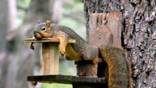 Squirrel watch, tired squirrel 01-31-13_18354246