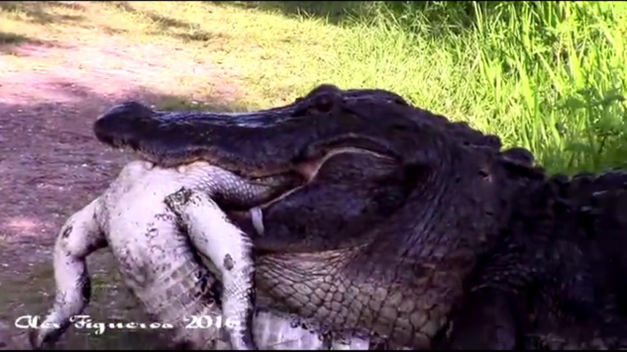 Lakeland Car Dealerships >> Video shows alligator eating another alligator