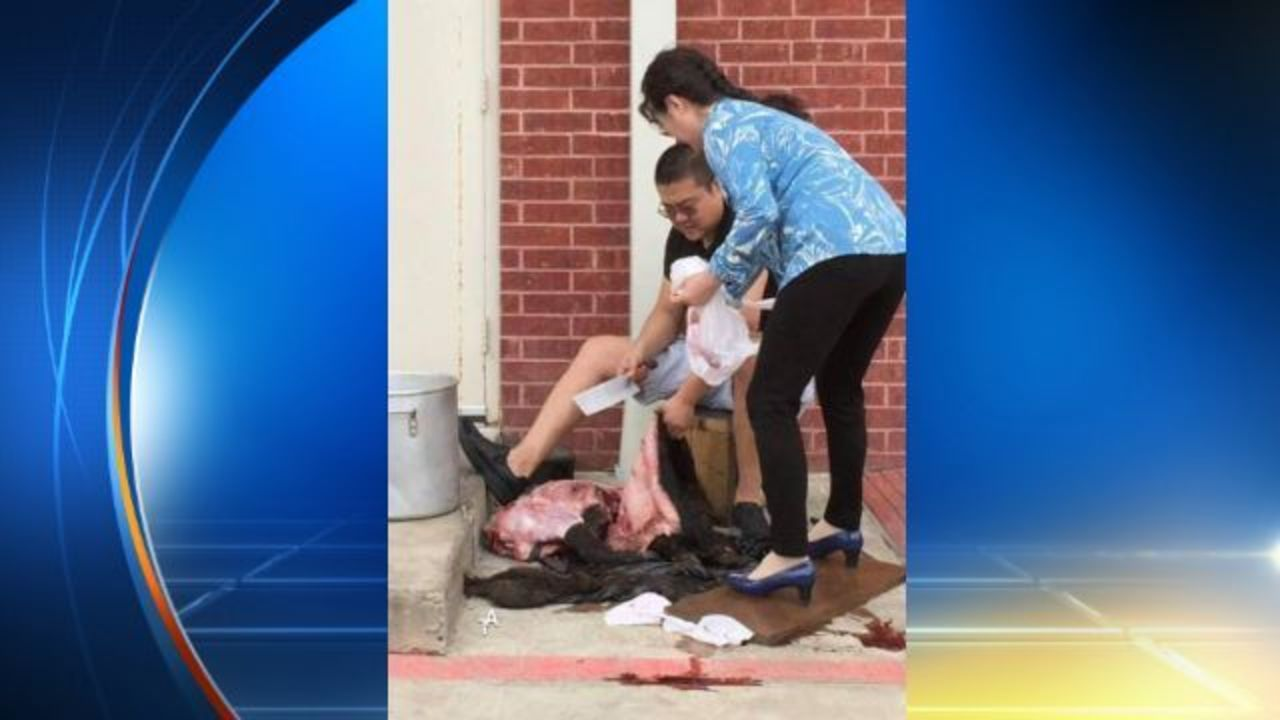 Hog Butchered In Pearland Restaurant Parking Lot Photo Takes