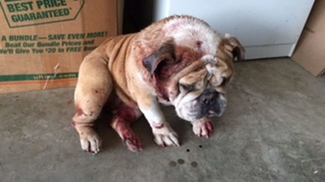 5 year old english bulldog dies from injuries sustained in