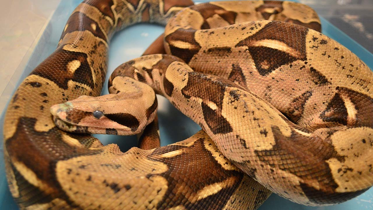Rescued 7-foot snake finds home at Moody Gardens