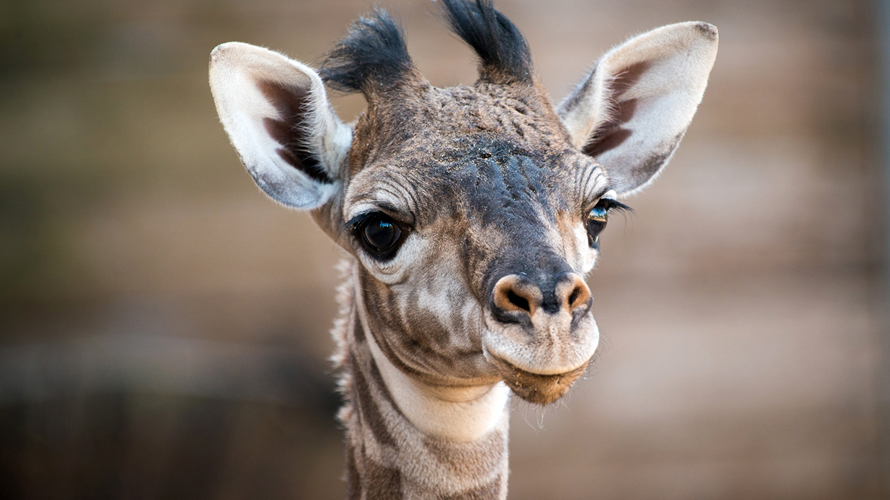 Houstonians react to new baby giraffe at Houston Zoo