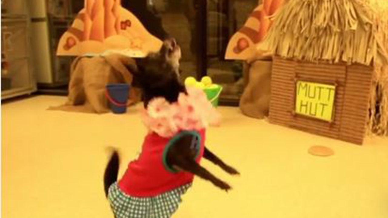 hula dancing dog up for adoption at animal shelter in