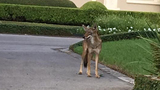 Daytime coyote sighting in River Oaks