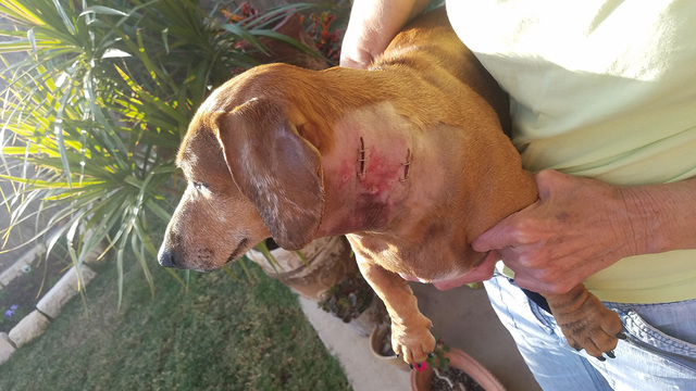 penny dog attacked by coyote staples injured