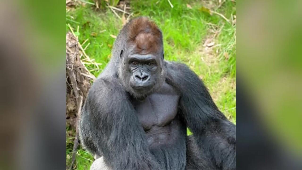 Gorilla Escapes Barrier Into Hog Exhibit At Houston Zoo