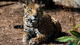 Jaguar euthanized at Houston Zoo