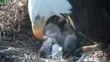 Bald eagle hatches as camera rolls in Webster