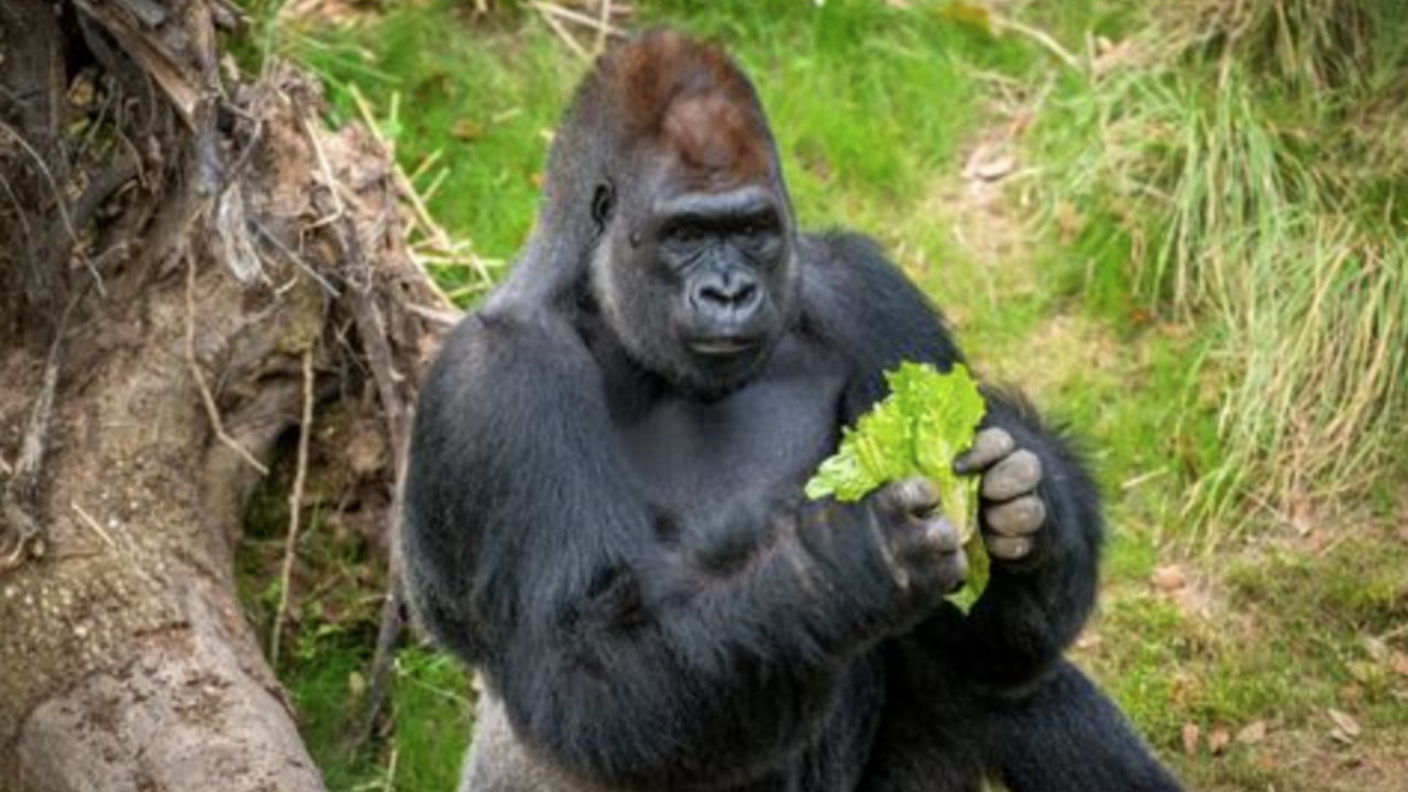 Uber Driver Discount >> Houston Zoo mourns loss of silverback gorilla