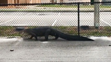 Gator saunters near middle school